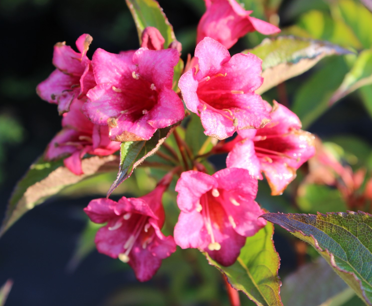 "Weigela ""Red Prince"""