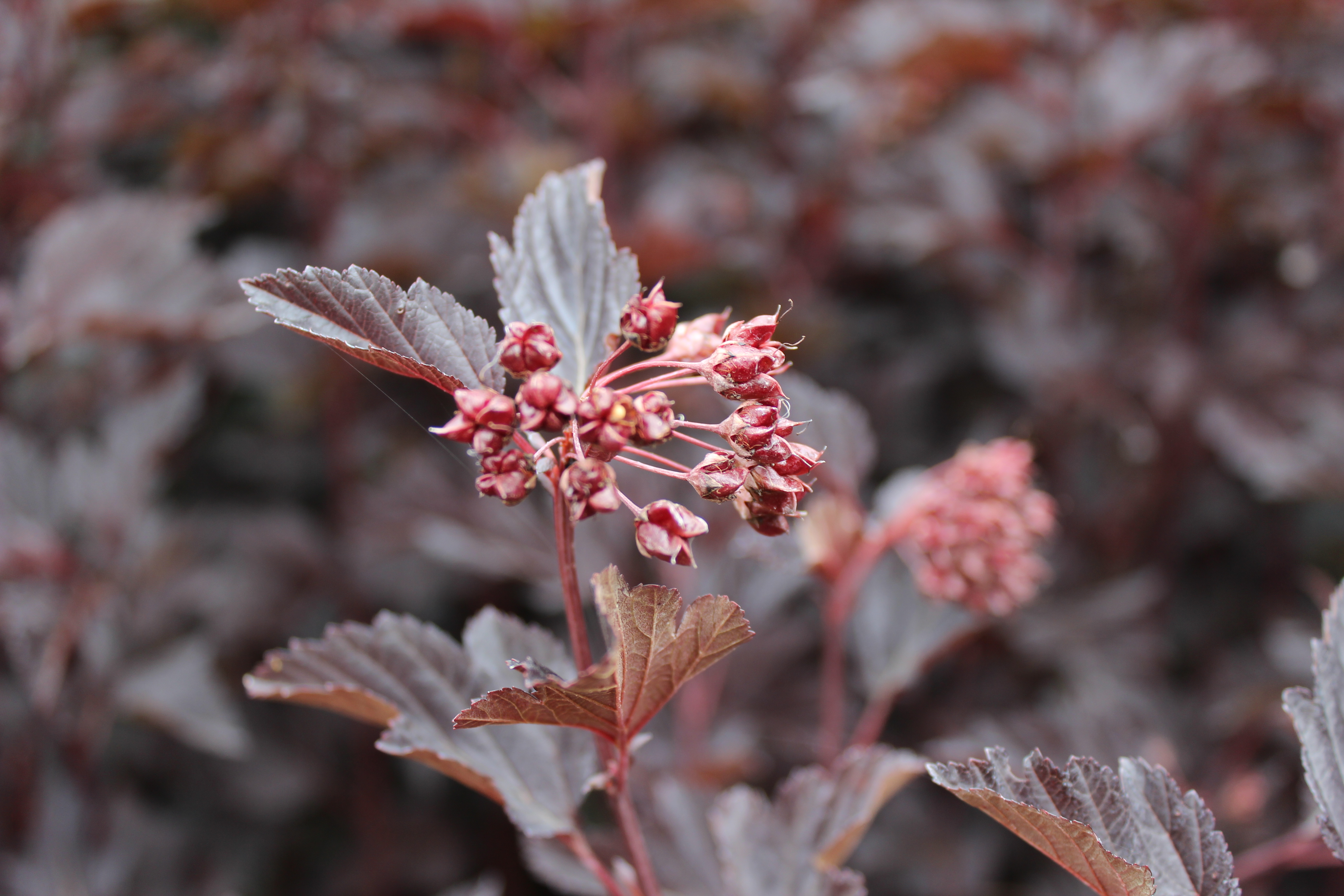 "Physocarpus opulifolius ""Black Night"""