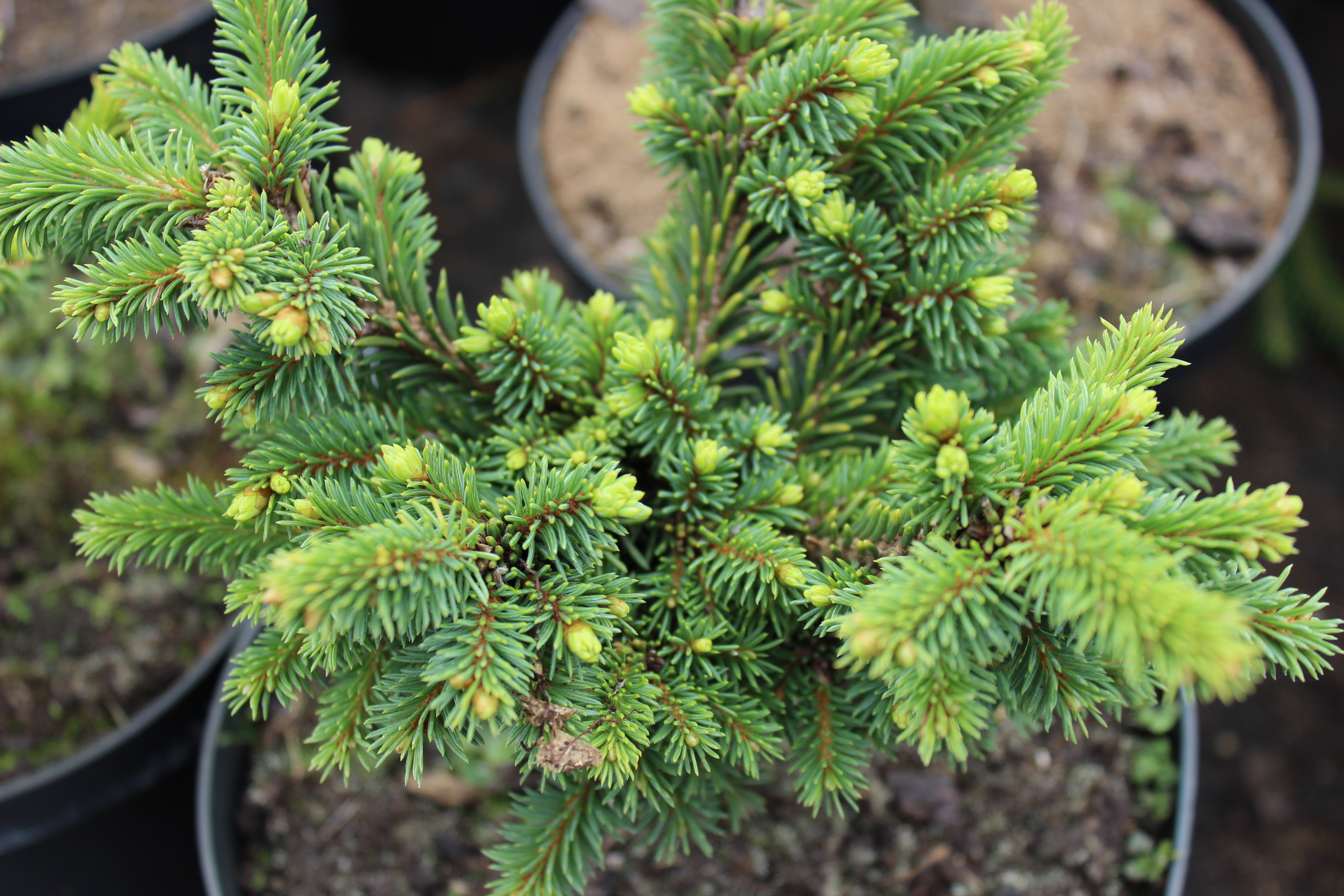 "Picea abies ""Kamon"""