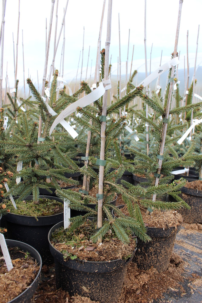 "Picea abies ""Rothenhaus"""