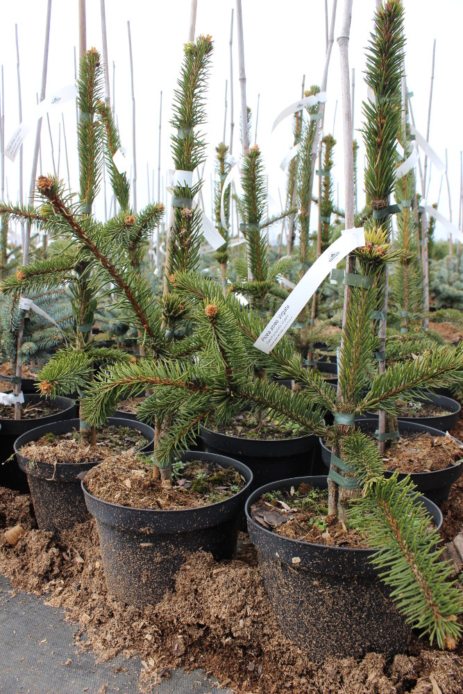 "Picea abies ""Virgata"""