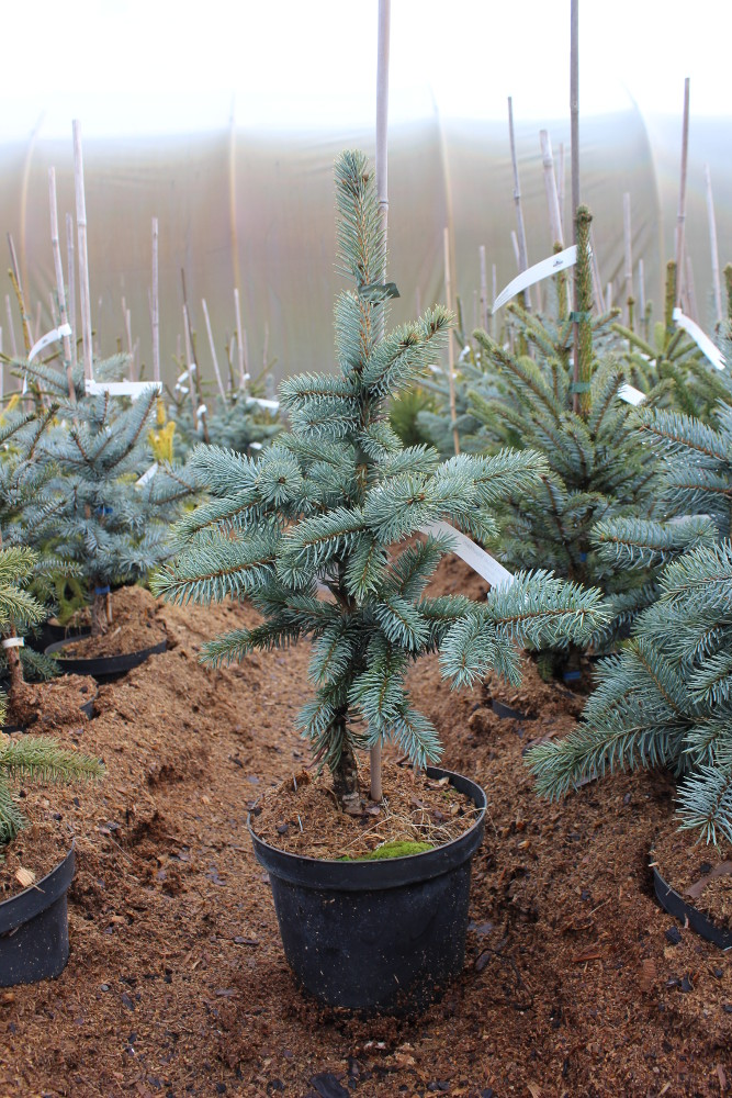 Picea pungens Blue Mountain