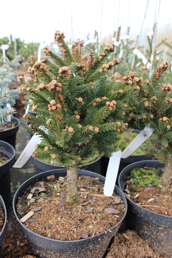 Picea abies Barryi