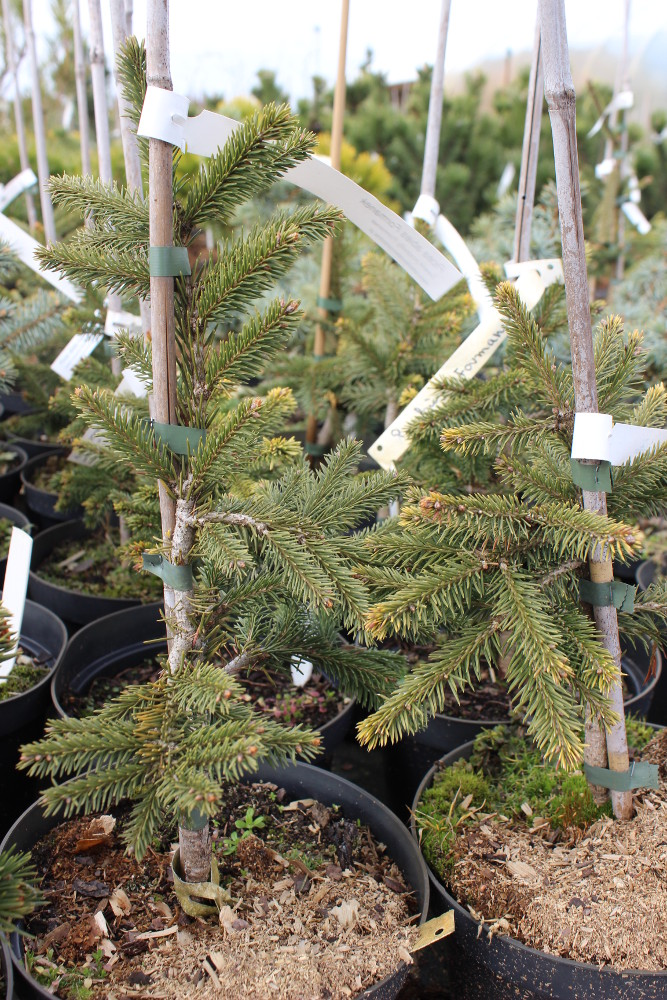 "Picea abies ""Formanek"""