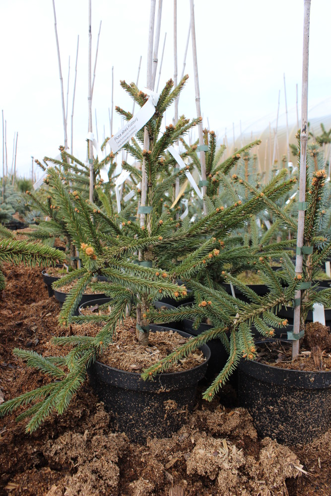 "Picea abies ""Frohburg"""