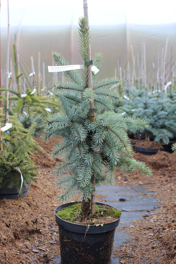 Picea pungens Baby Blue Eyes