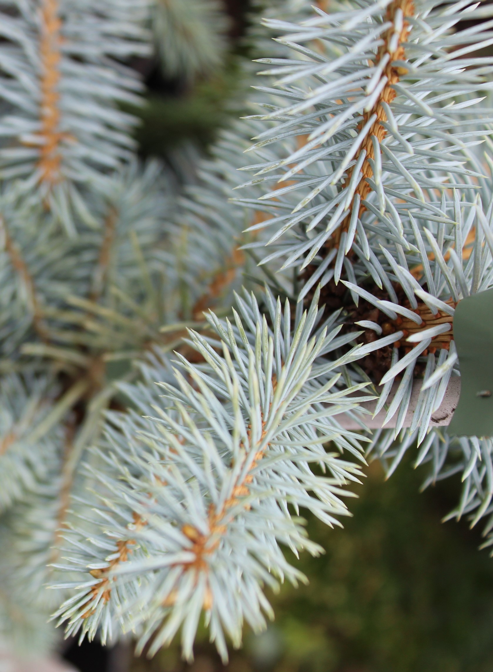 "Picea pungens ""Edith"""