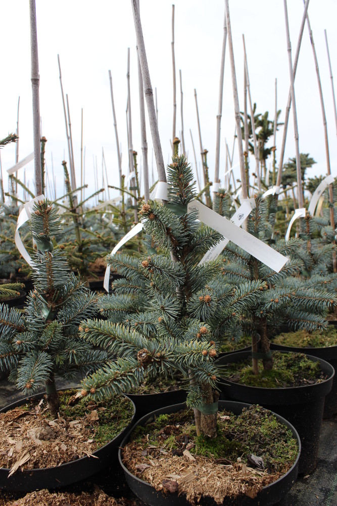 "Picea pungens ""Hoto"""
