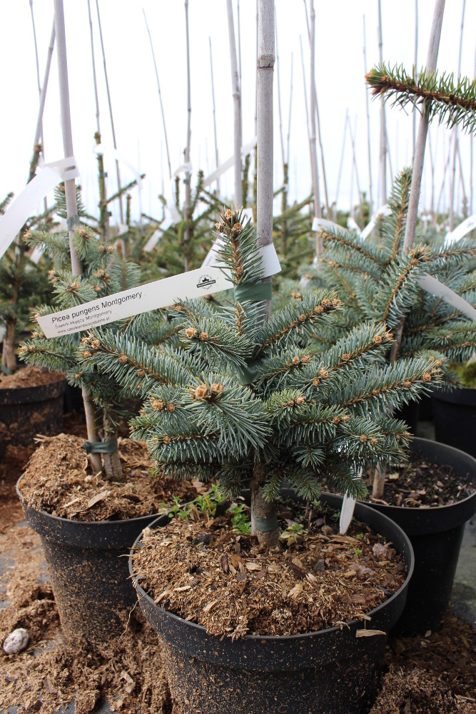 "Picea pungens ""Montgomery"""