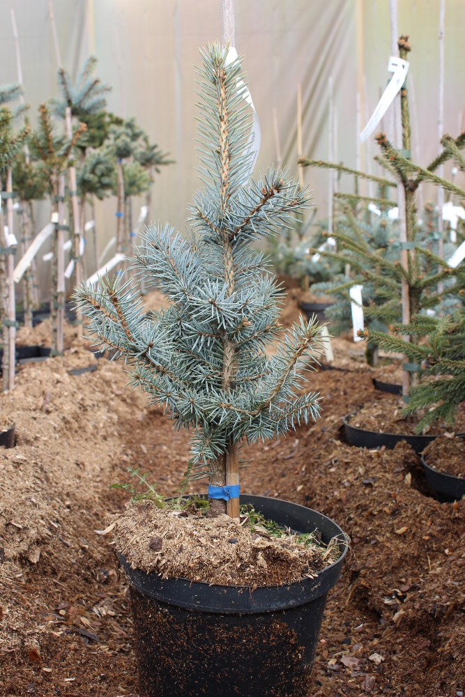 "Picea pungens ""Omega"""