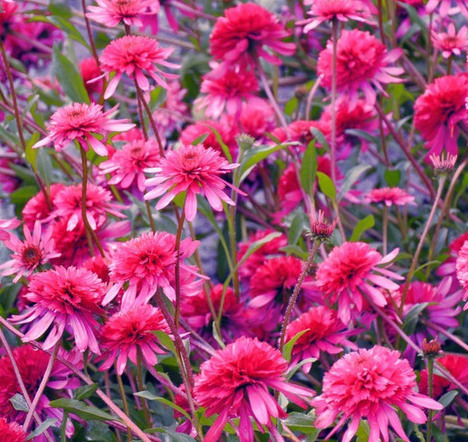 Echinacea Southern Belle