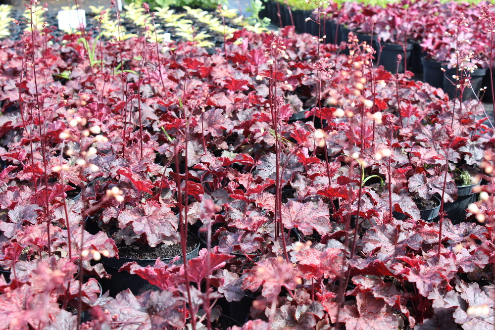 Heuchera Cajun Fire